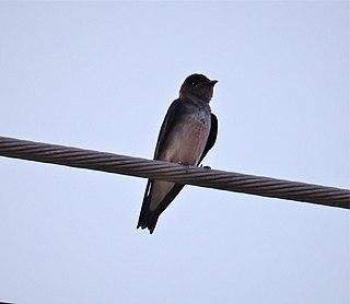 Grey-breasted martin species of bird