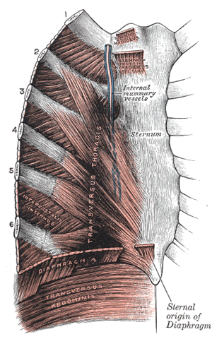 Internal thoracic vein - Posterior surface of sternum and costal cartilages, showing Transversus thoracis. (Internal mammary vessels labeled at center top.)
