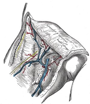 Cribriform fascia - The great saphenous vein and its tributaries at the saphenous opening