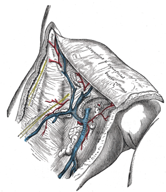 Superficial epigastric vein - The great saphenous vein and its tributaries at the fossa ovalis.