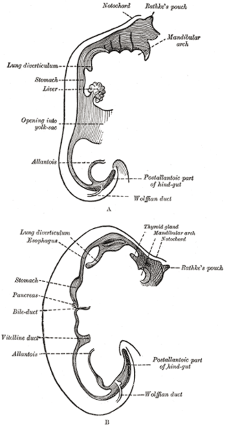 Rathke's pouch - Sketches in profile of two stages in the development of the human digestive tube.