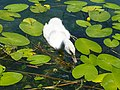 Grazing on water lillies @ Baby swan @ Lake Annecy @ Port de Saint-Jorioz (50487109268).jpg