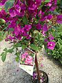 Great Swamp Greenhouse photos Purple Queen Bougainvillea.JPG