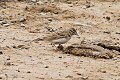 Greater Short-toed Lark (Calandrella brachydactyla) (8079432559).jpg