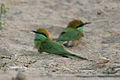 Green Bee-eaters (Merops orientalis)- Sand Bath at Sindhrot near Vadodara, Gujrat Pix 249.jpg