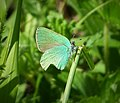 Green Hairstreak. Callophrys rubi (30069889227).jpg
