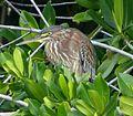 Green Heron. Butorides virescens. Immature. - Flickr - gailhampshire (1).jpg