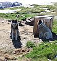 Greenland Sled Dogs (3671076760).jpg