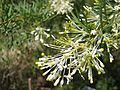 Grevillea 'White Wings'.jpg
