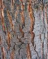 Grevillea robusta textura del tronco.jpg