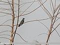 Grey-bellied Cuckoo (Cacomantis passerinus) (31638241527).jpg