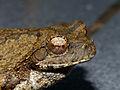 Grey Foam-nest Treefrog (Chiromantis xerampelina) (11423662154).jpg