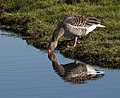 Greylag Goose drinking water.jpg