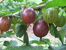 diférentes maturité de fruits sur un groseillier à maquereaux