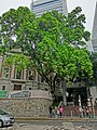 HK Mid-Levels Bonham Road HKU campus entrance tree April 2013.JPG