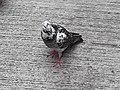 HK SYP 西環 Sai Ying Pun Market 正街 Centre Street 鴿子 pigeons near Third Street April 2020 SS2 13.jpg
