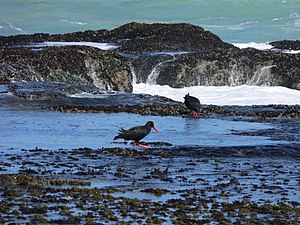 De Hoop Nature Reserve - African black oystercatchers at De Hoop