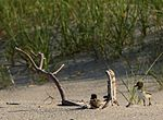 Haematopus palliatus -Atlantic coast, Cape May, New Jersey, USA -chicks-8.jpg