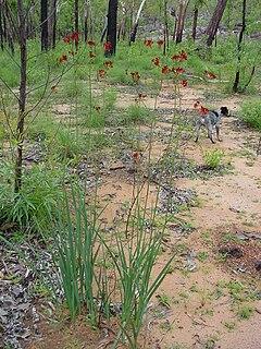 <i>Haemodorum</i> genus of plants