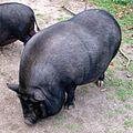 Haengebauchschwein2.jpg