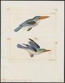 Halcyon senegaloides - 1700-1880 - Print - Iconographia Zoologica - Special Collections University of Amsterdam - UBA01 IZ16800051.tif