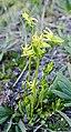 Halenia weddeliana - Flickr - Dick Culbert.jpg