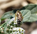 Halictus species male (32761998666).jpg