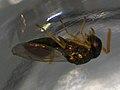 Halticoptera laevigata (36505606466).jpg