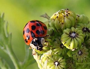 Harmonia axyridis, Harlequin lady beetle, Enfield, UK.JPG
