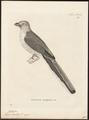 Harpactes oreskios - 1700-1880 - Print - Iconographia Zoologica - Special Collections University of Amsterdam - UBA01 IZ16700369.tif