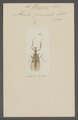 Harpax - Print - Iconographia Zoologica - Special Collections University of Amsterdam - UBAINV0274 065 03 0076.tif
