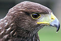 Harris Hawk - Woburn Safari Park (4558930154).jpg
