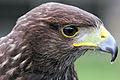 Harris Hawk - Woburn Safari Park (4558930154).jpg