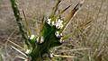 Harrisia Cactus, Harrisia martinii (10868943285).jpg