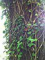 Hedera climbing on a tree.jpg