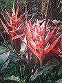 Heliconia angusta (BG Zurich)-03.JPG