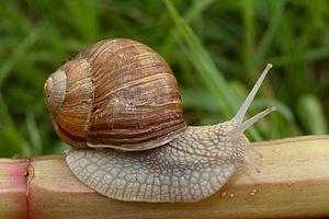 Terrestrial mollusc - Land snail Helix pomatia