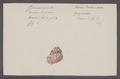 Helix tentaculata - - Print - Iconographia Zoologica - Special Collections University of Amsterdam - UBAINV0274 089 01 0092.tif