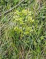 Helleborus foetidus in Aveyron (8).jpg