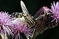 Helophilus.trivittatus2.-.lindsey.jpg