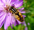 Helophilus hybridus. Syrphidae. Female - Flickr - gailhampshire.jpg