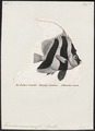 Heniochus monoceros - 1700-1880 - Print - Iconographia Zoologica - Special Collections University of Amsterdam - UBA01 IZ13100203.tif