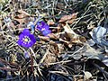 Hepatica nobilis - Blåveis om våren i Horten.jpg