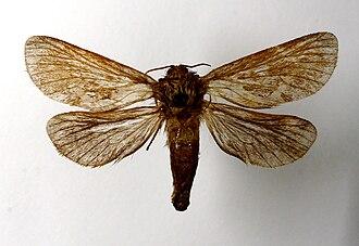 Common swift (moth) - Mounted