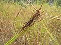 Heteropogon contortus spikelets7 (8232543469).jpg