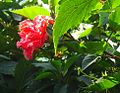 HibiscusDSC02880.jpg