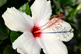 Hibiscus - Wikipedia