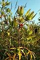 Hibiscus coccineus 3zz.jpg