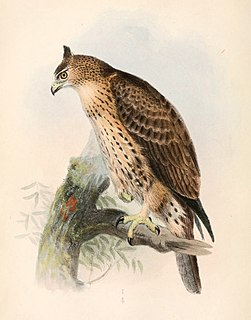 <i>Hieraaetus</i> genus of birds