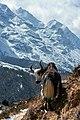 Himalayan Yak.jpg